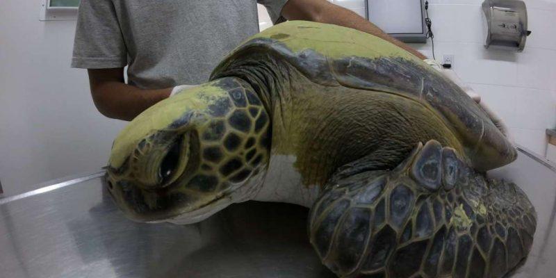 Balıkçı ağından kurtarılan kaplumbağa 13 gram plastik dışkıladı