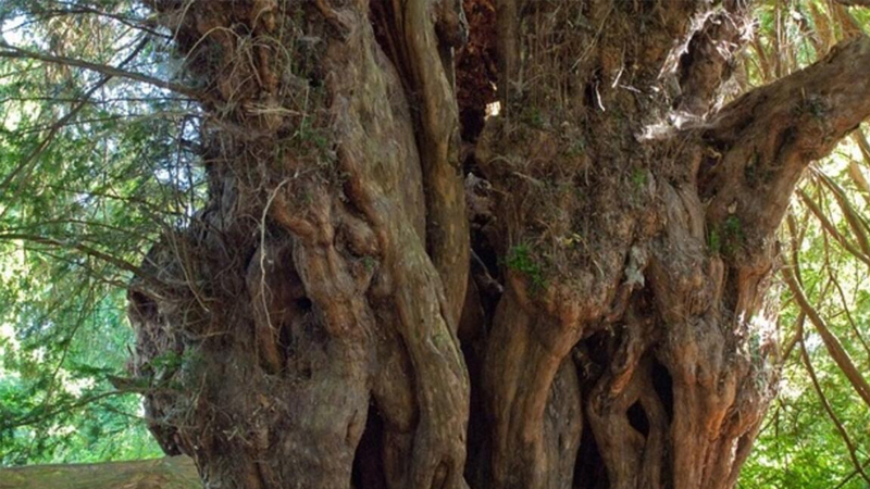 Türkiye'nin en yaşlı ağacı; Bronz Çağı'nda filizlendi, 4 bin 115 yaşında!